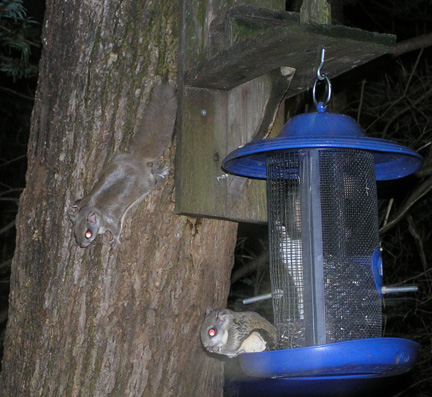 Flying Squirrels!